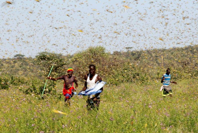 Los hombres tratan de espantar a un enjambre de langostas del desierto en Samburu, Kenya. (CNS, Njeri Mwangi, Reuters/Kenya)