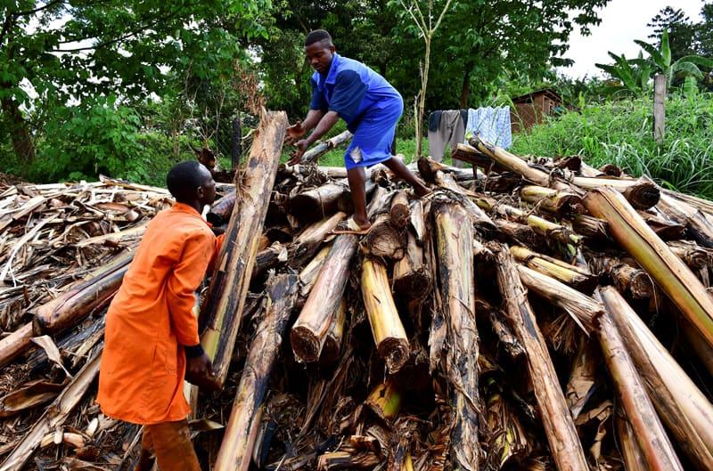 Los trabajadores clasifican los tallos de banano recién cortados en una plantación para extraer fibra de las vainas de los troncos en Mukono, Uganda, el 3 de abril de 2021. Uganda es uno de los países más pobres del mundo. (Foto del CNS / Abubaker Lubowa, Reuters)